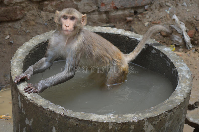 Monkey Hot Tub. Monkey enjoying in water on a hot day in India stock images