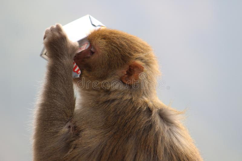 Monkey how looking for food and a bit water. stock photo