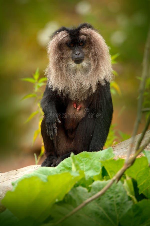 Monkey il macaco Leone-munito, il silenus del Macaca, animale sull'habitat tropicale verde della foresta macaco Leone-munito, end immagini stock libere da diritti