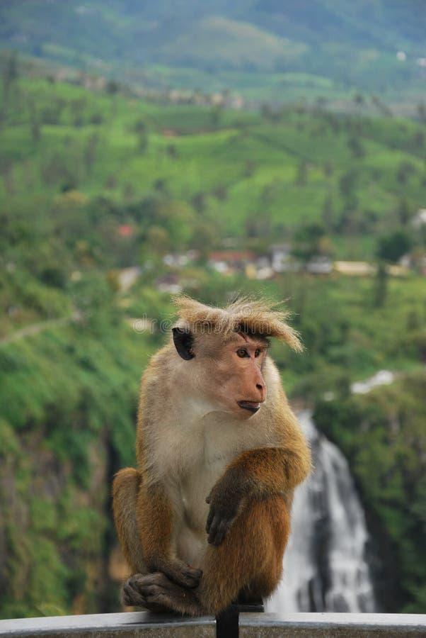Free Monkey In Front Of Devon Falls, Sri Lanka Royalty Free Stock Photo - 23246595