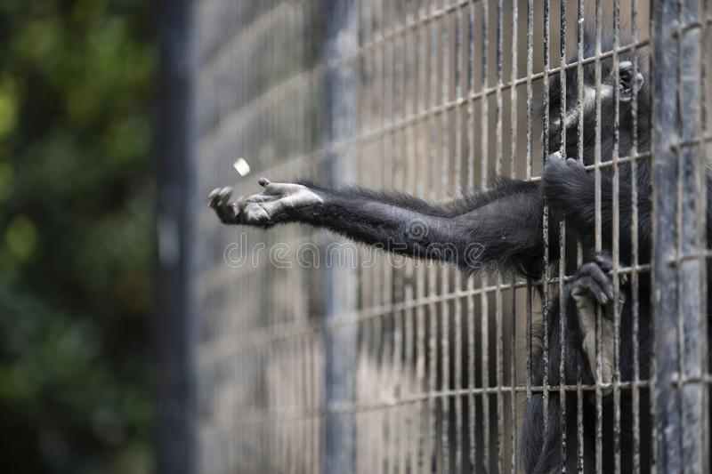 A MONKEY INSIDE GRILLE IN A ZOO royalty free stock image