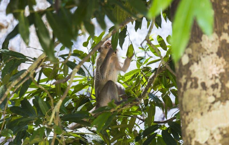 Monkey inside trees. Monkey inside green trees in Phuket, Thailand royalty free stock image