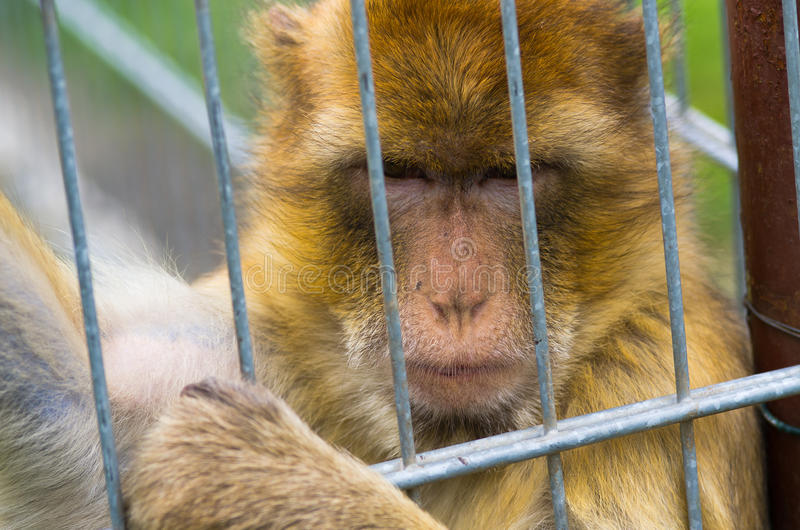 Monkey in the iron cage royalty free stock images
