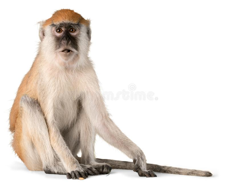 Monkey. Isolated Animal Vervet  Primate Cut Out White