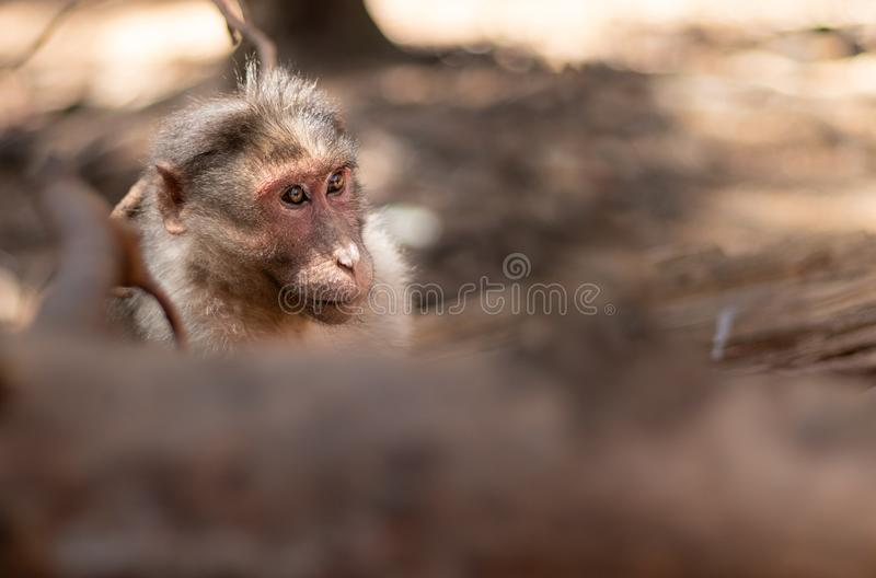 Monkey isolated head with blurred foreground stock photography