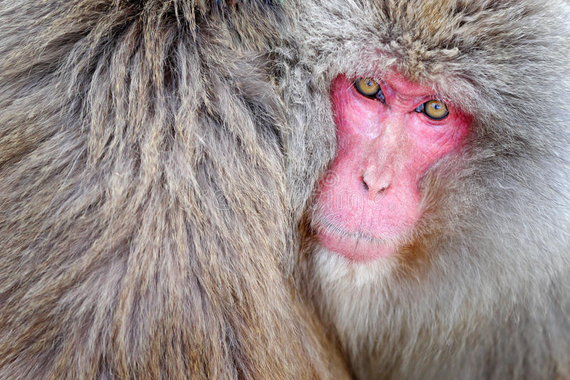 Monkey Japanese macaque, Macaca fuscata, detail red face portrait in the fur, Hokkaido, Japan. Monkey Japanese macaque, Macaca fuscata, detail red face portrait stock photos