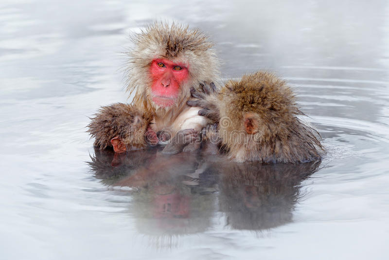 Monkey Japanese macaque, Macaca fuscata, family with baby in the water. Red face portrait in the cold water with fog. Two animal. I water royalty free stock image
