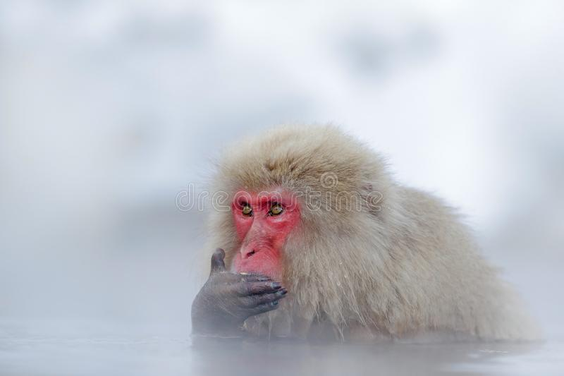 Monkey Japanese macaque, Macaca fuscata, red face portrait in the cold water with fog and snow, hand in front of muzzle, animal in. Monkey Japanese macaque royalty free stock photos