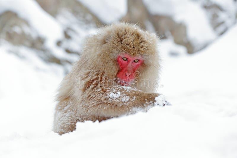 Monkey Japanese macaque, Macaca fuscata, sitting on the snow, Hokkaido, Japan. Wildlife stock photography