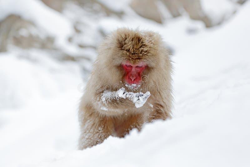 Monkey Japanese macaque, Macaca fuscata, sitting on the snow, Hokkaido, Japan. Wildlife stock photos