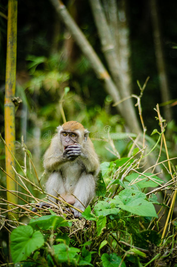 Monkey in jungle royalty free stock photo