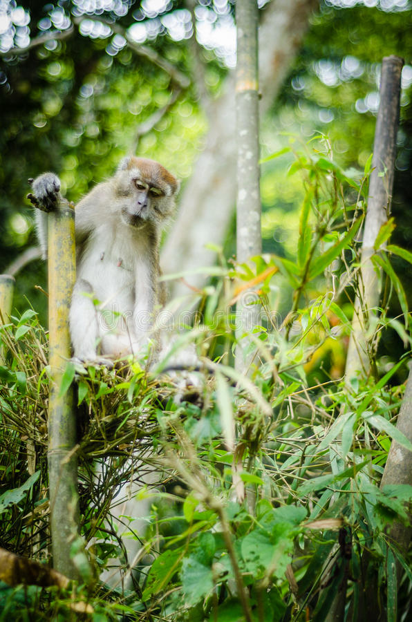 Monkey in jungle royalty free stock image