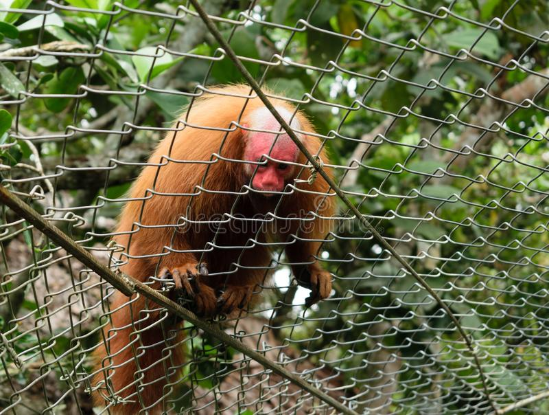 Monkey in the jungle of Iquitos royalty free stock images