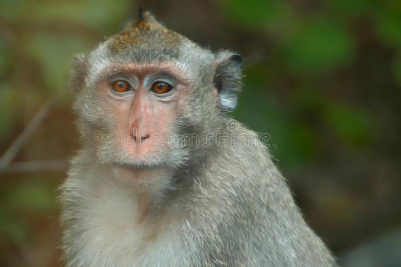 Monkey in the jungle royalty free stock photo