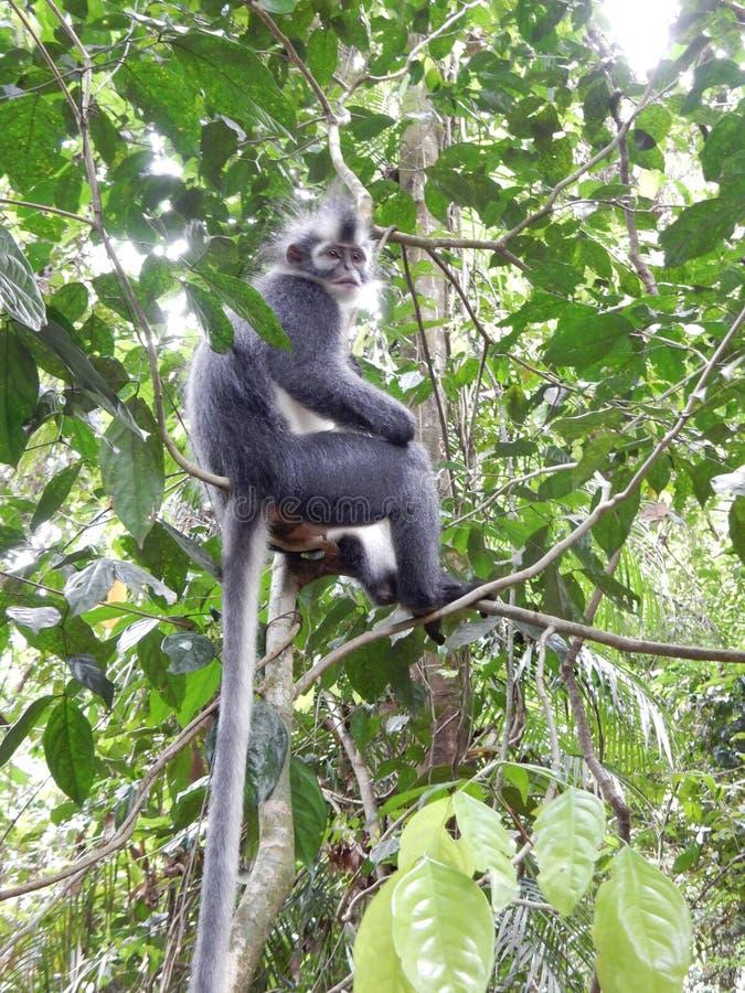 A monkey in jungle of Sumatra stock photo
