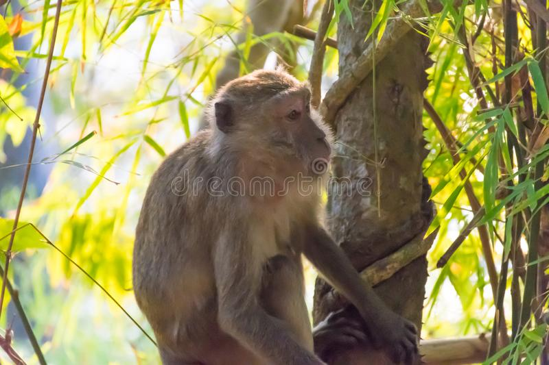 Monkey in the jungle of Thailand.  royalty free stock photos