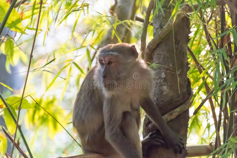 Monkey in the jungle of Thailand.  stock images