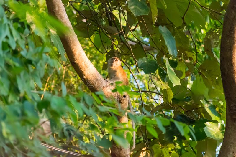 Monkey in the jungle of Thailand.  royalty free stock photo