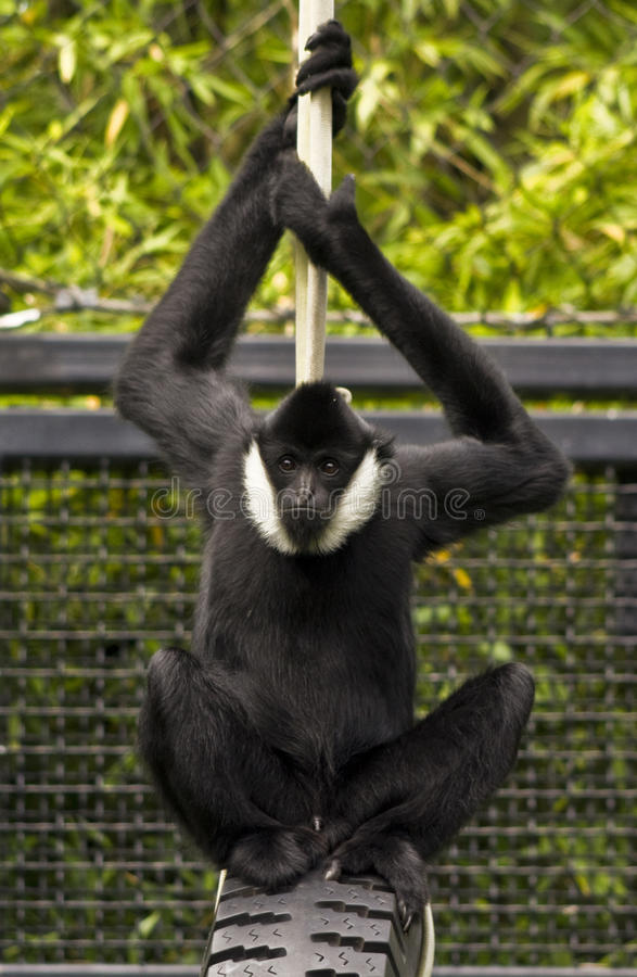 Monkey just hanging out stock images
