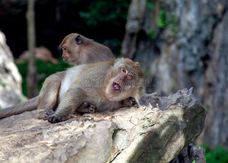 Monkey in Krabi Thailand/ Animal royalty free stock images