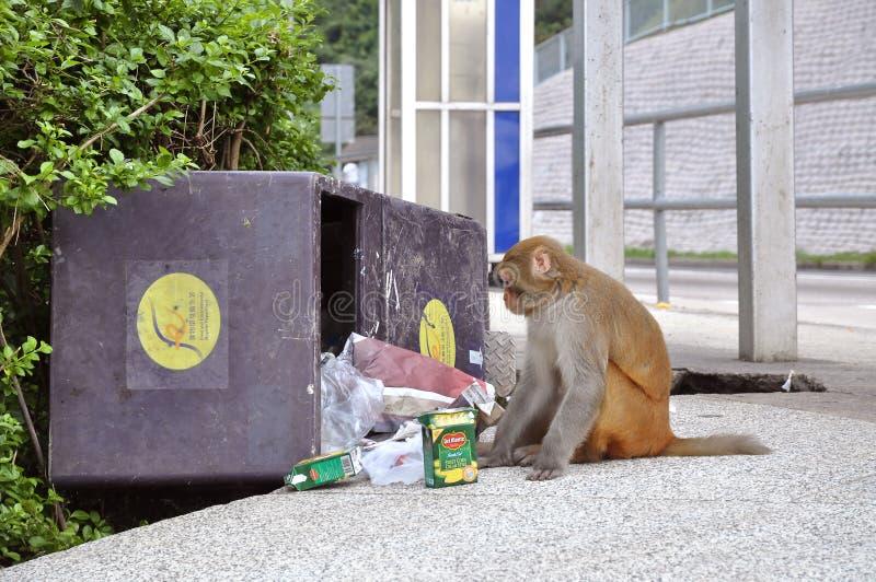 Monkey la consommation de la poubelle de déchets, Kam Shan Country Park, Kowloon photo libre de droits
