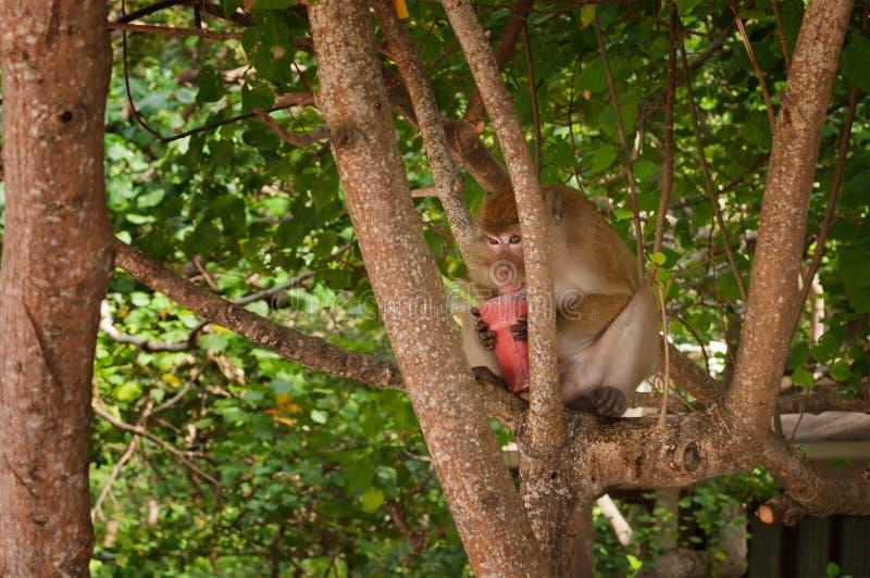 Monkey la consumición de sacudida de fresa en la playa de Railay imágenes de archivo libres de regalías
