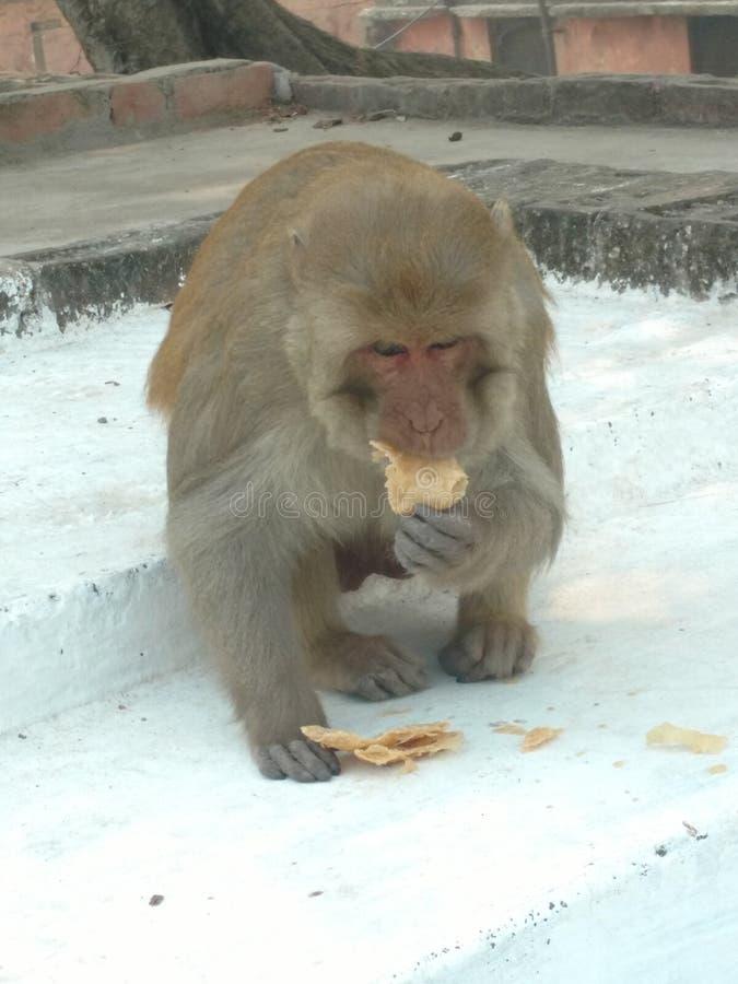 Monkey la consumición del pan foto de archivo