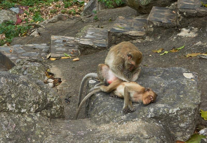 Monkey la famiglia, il padre o madre e bambino immagini stock