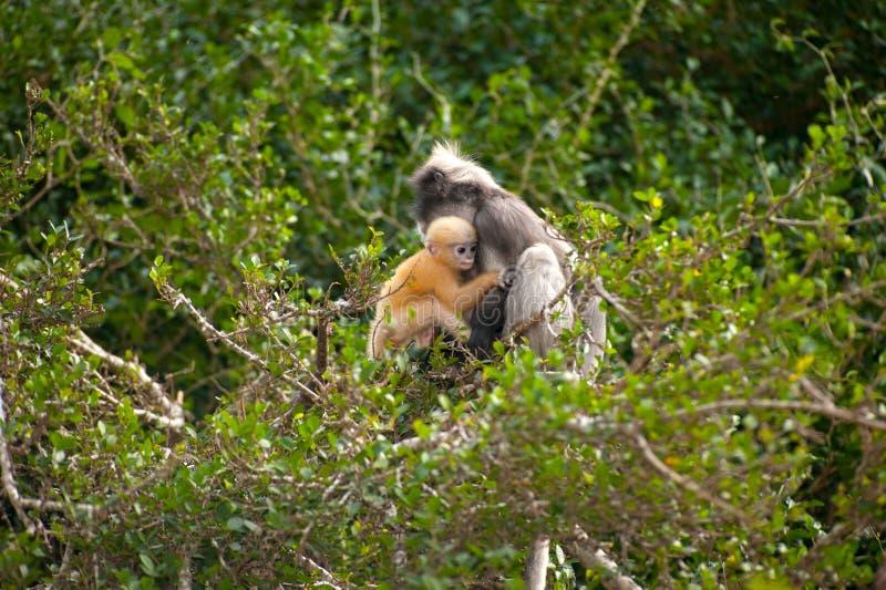 Monkey la mère et son bébé sur l'arbre (obscura reid de Presbytis). images libres de droits
