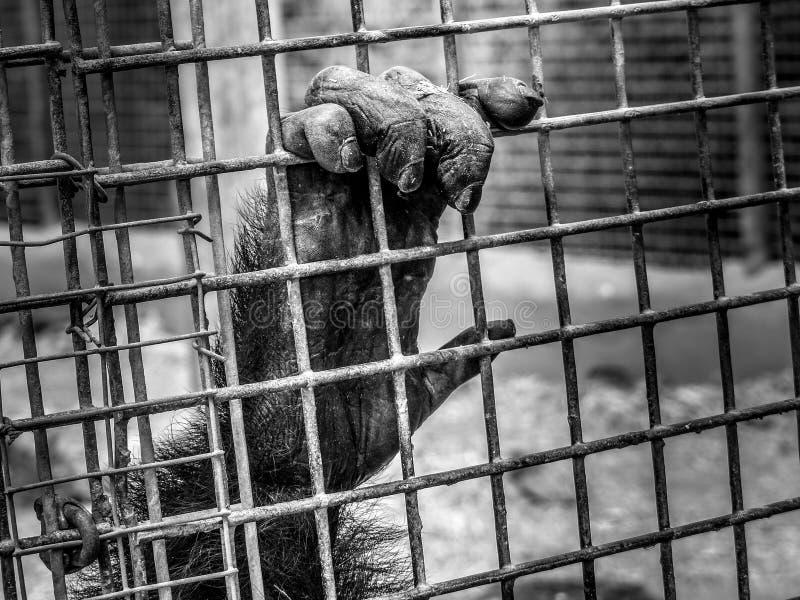 Monkey la mano del ` s che tiene le barre di metallo immagine stock libera da diritti