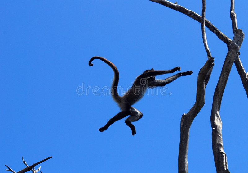 Monkey leap. A wild spider monkey jumping from tree to tree