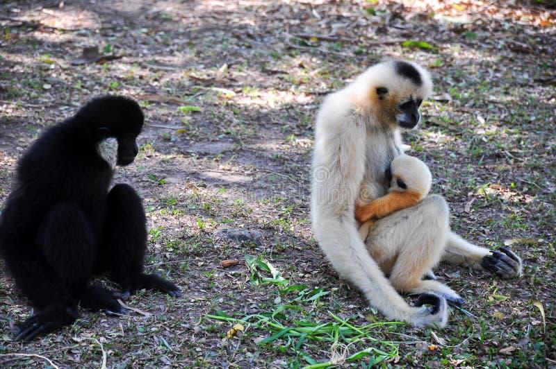The monkey. stock photography