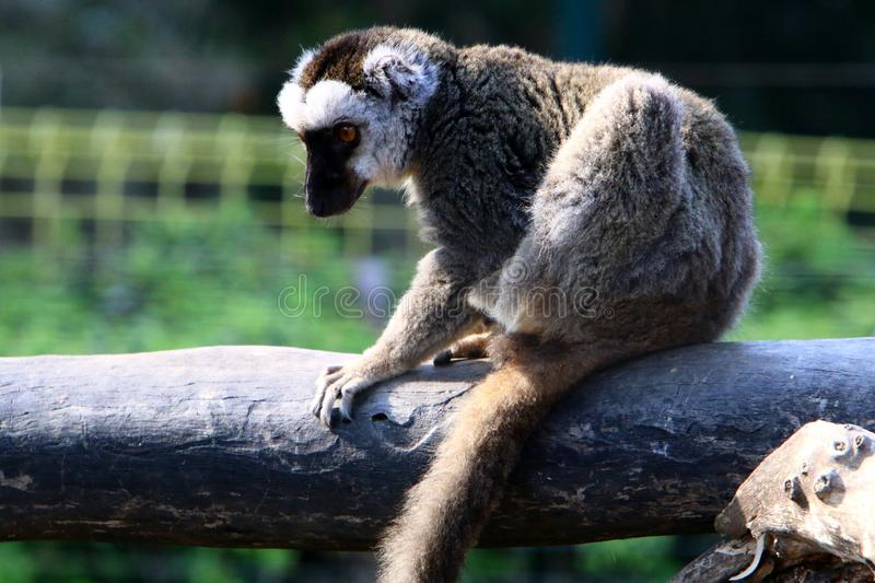 Monkey lives in a zoo in Israel. Monkey lives in a zoo in the city of Haifa in Israel royalty free stock photos