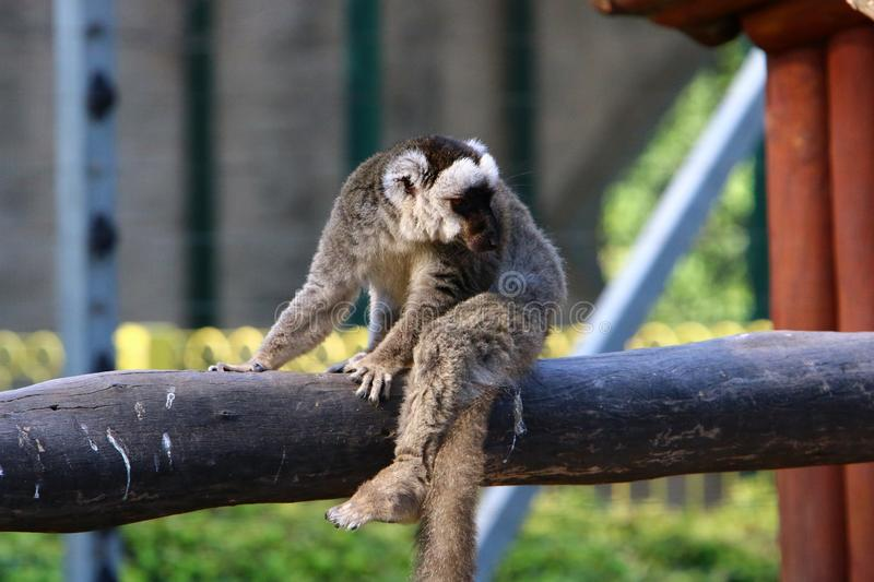 Monkey lives in a zoo in Israel. Monkey lives in a zoo in the city of Haifa in Israel stock images