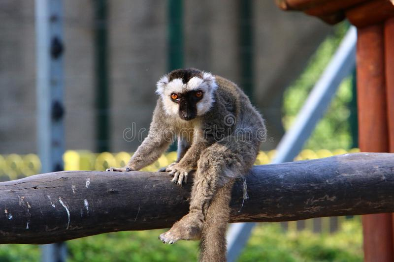 Monkey lives in a zoo in Israel. Monkey lives in a zoo in the city of Haifa in Israel royalty free stock images