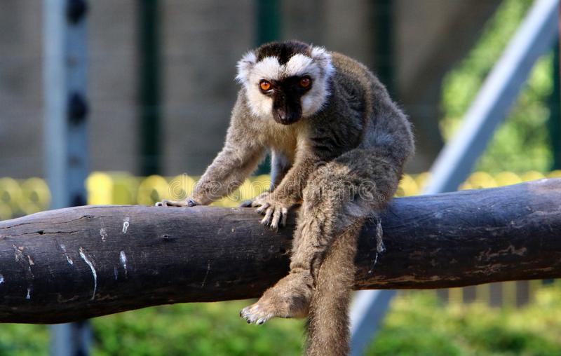 Monkey lives in a zoo in Israel. Monkey lives in a zoo in the city of Haifa in Israel stock photo