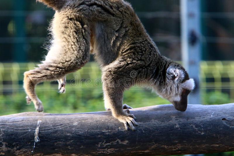 Monkey lives in a zoo in Israel. Monkey lives in a zoo in the city of Haifa in Israel stock photos