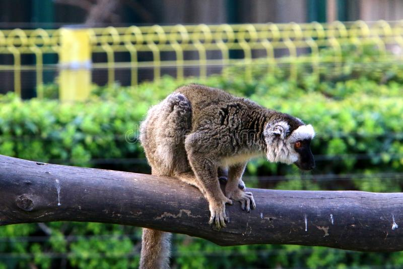 Monkey lives in a zoo in Israel. Monkey lives in a zoo in the city of Haifa in Israel royalty free stock photo