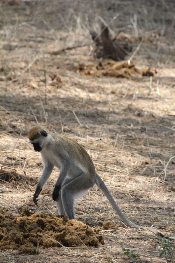 Monkey, lo más beautfully posible la criatura que atrae a la mayoría del turista en el parque nacional del ruaha imagen de archivo libre de regalías