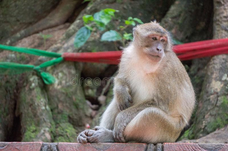 Monkey looking bored while scratching its belly stock photos