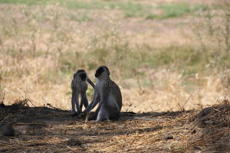 Monkey looking for food day time. royalty free stock photos