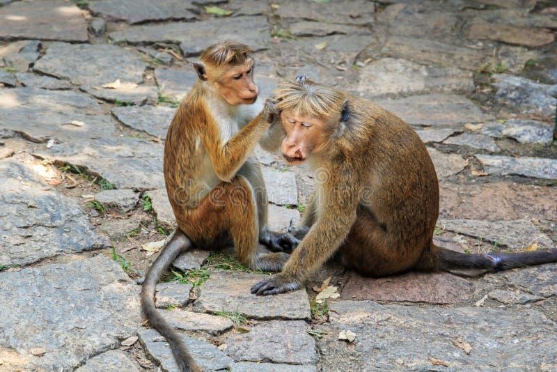 monkey los cuidados femeninos para un mono masculino herido fotografía de archivo