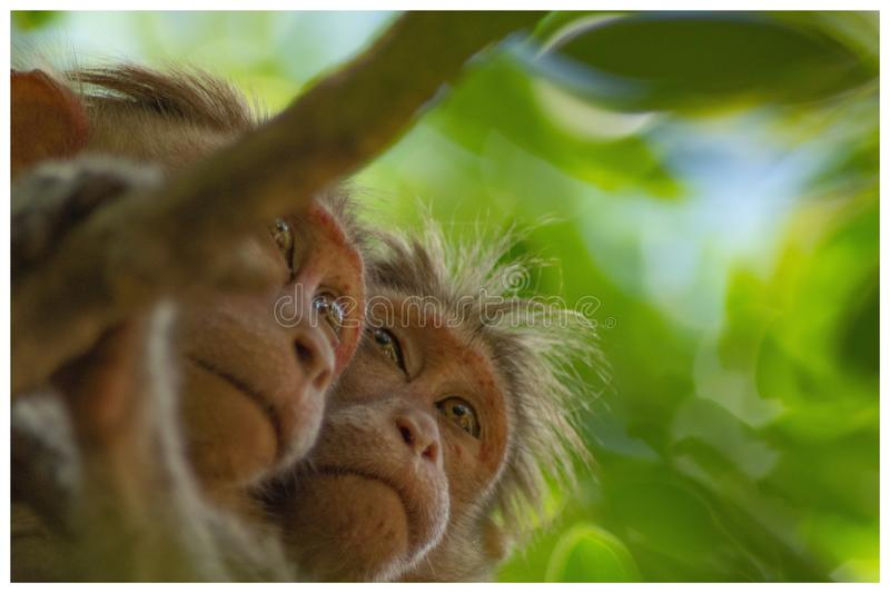 Monkey love royalty free stock photos