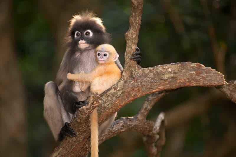 Monkey a mãe e o seu bebê na árvore (obscura reid de Presbytis). imagens de stock