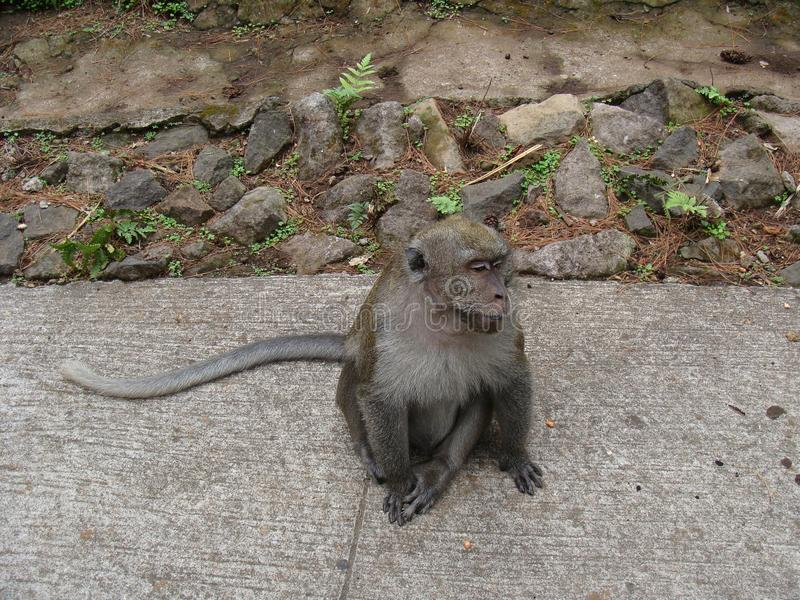 Monkey Macaca fascicularis sit on paved and stone royalty free stock photography