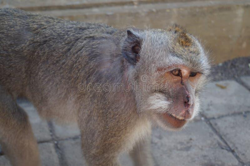 Monkey royalty free stock photos