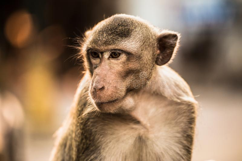 Monkey, Macaque, Looking Up, Animal Head, Mammal. A thai monkey or Crab-eating macaque, Macaca Fascicularis Raffles Eating bananas and sitting and blur stock images