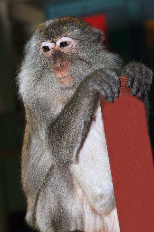 Download Monkey Macaque, Railay, Krabi,  Thailand Stock Photo - Image: 38785023