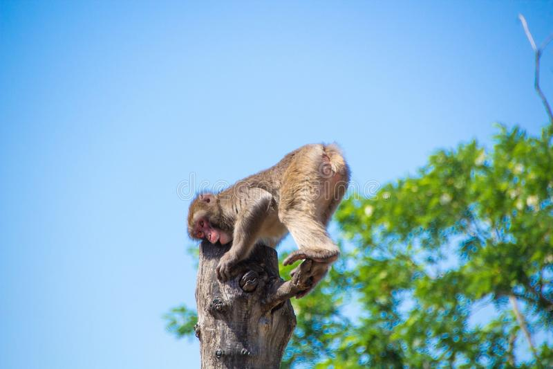 Monkey macaque scratching his leg on a branch sitting on a tree stock photography