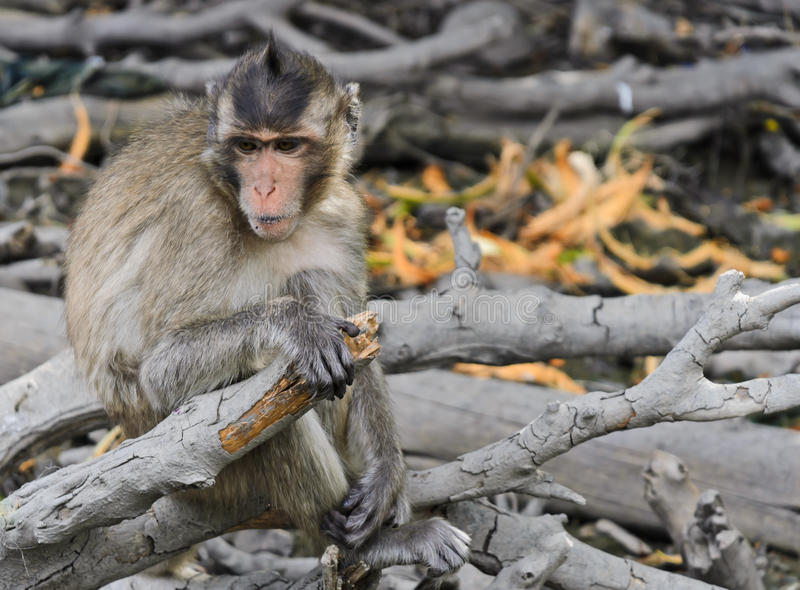 Download Monkey macaques stock photo. Image of wood, sitting, cercopithecine - 26142422